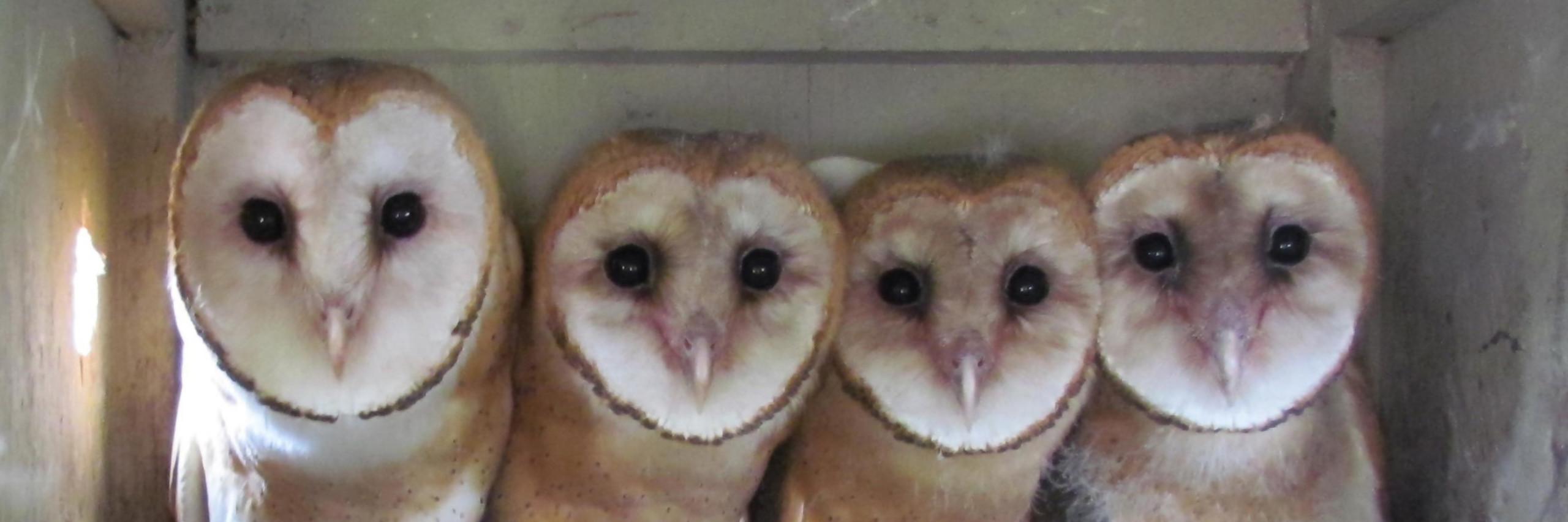 Owl Channel 4