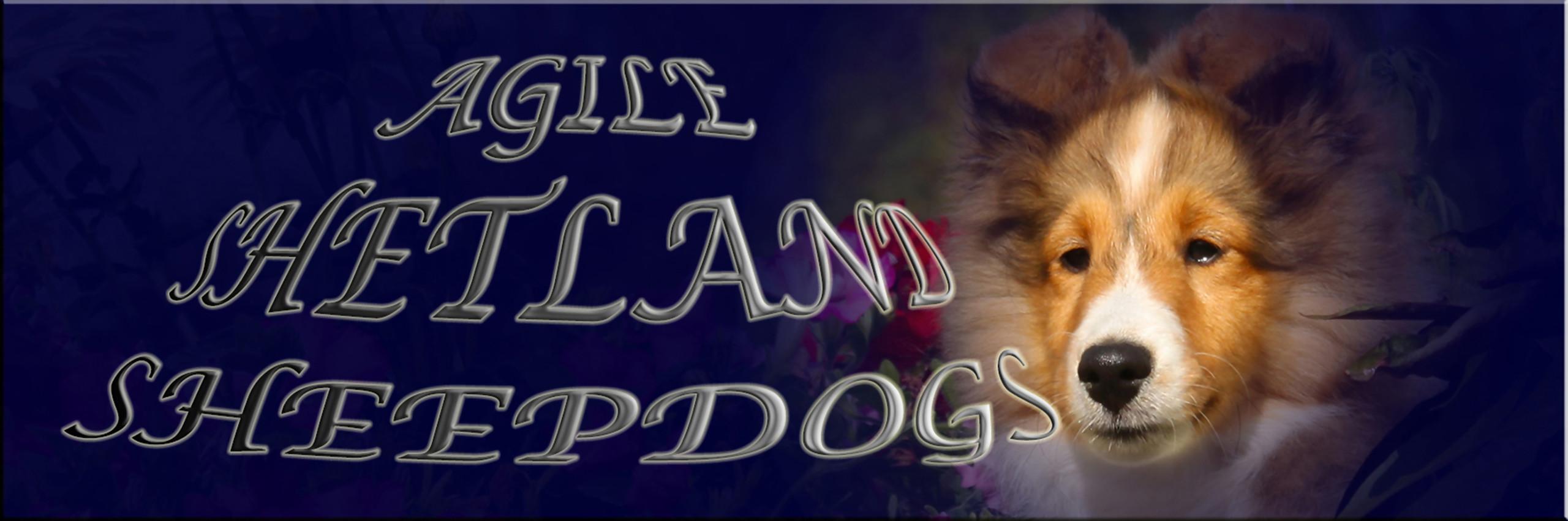 Agile Shetland Sheepdogs Litter 2018